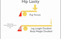 Canine Hip in Health and Disease Part 2: The Evolution of Dysplasia