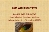 Cats with Runny Eyes. Treating infectious feline keratoconjunctivitis