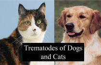 Trematodes of Dogs and Cats