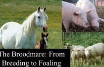 The Broodmare - From Breeding to Foaling
