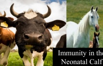 Immunity in the Neonatal Calf