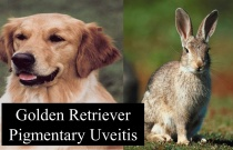 Golden Retriever Pigmentary Uveitis