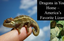 Dragons in Your Home - America's Favorite Lizard