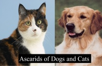 Ascarids of Dog and Cats