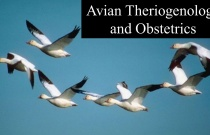 Avian Theriogenology and Obstetrics