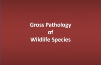 Gross Pathology of Wildlife Species