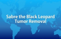 Sabre the Black Leopard Tumor Removal