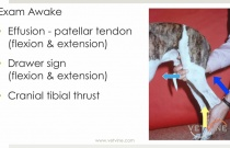 Cranial Cruciate Ligament - Diagnosing a Partial Tear Without Losing Your Mind