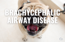 Brachycephalic Airway Disease